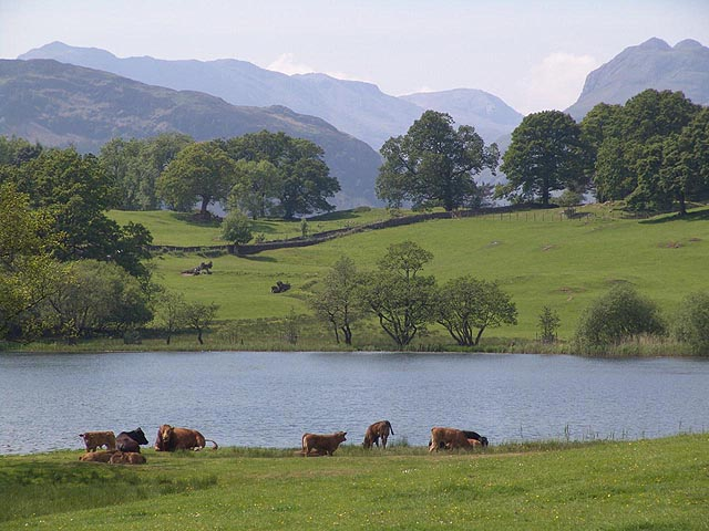 A truly pastoral scene of cows resting by Loughrigg Tarn, a beautiful tarn easily reachable from Blenheim Lodge. (Photo courtesy of www.visitcumbria.com/amb/loughrigg-tarn.htm)