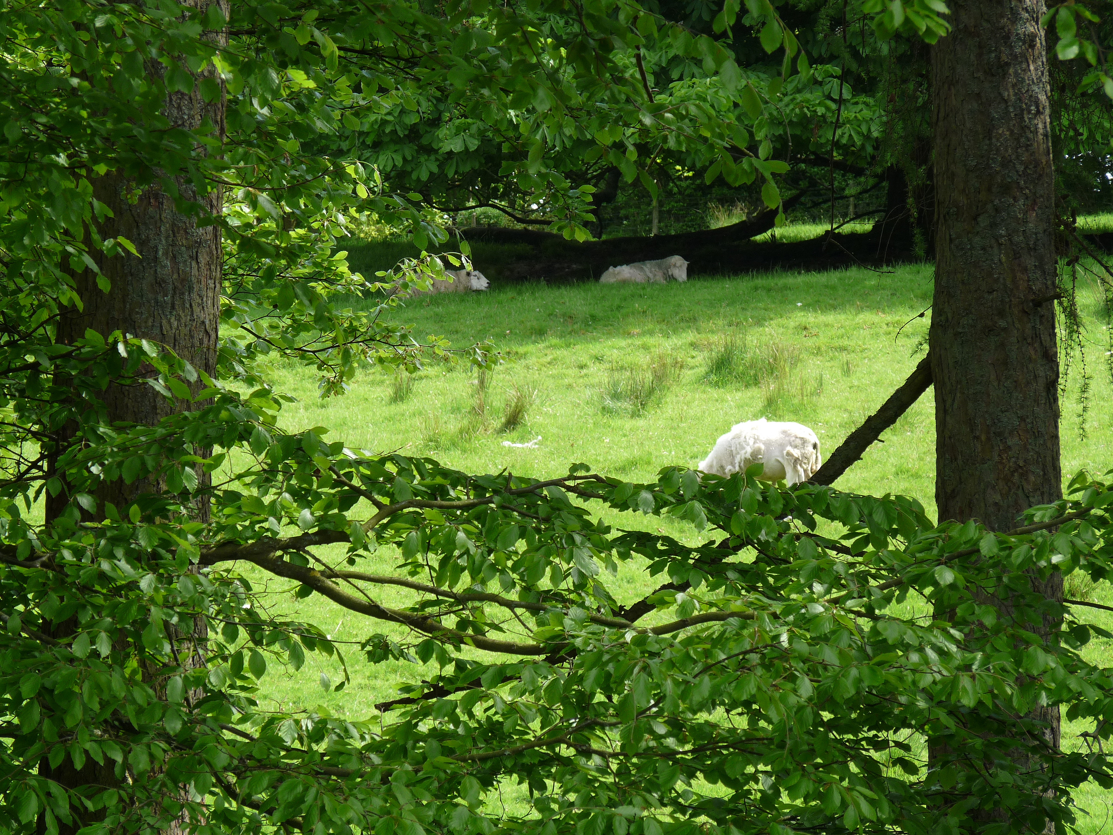 sheep at blenheim lodge
