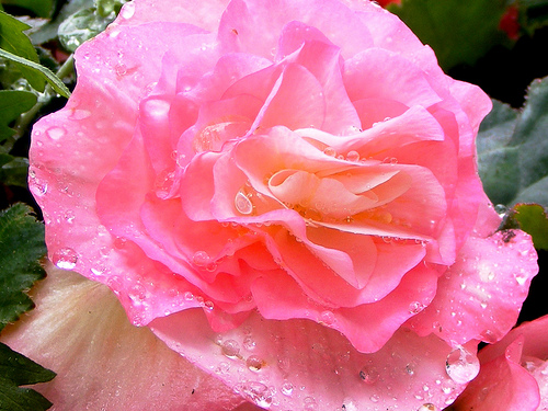 Raindrops on a rose, taken in Keswick, Lake District, by Stewart Cutler courtesy of www.flickr.com/photos/swryv/2714375926.