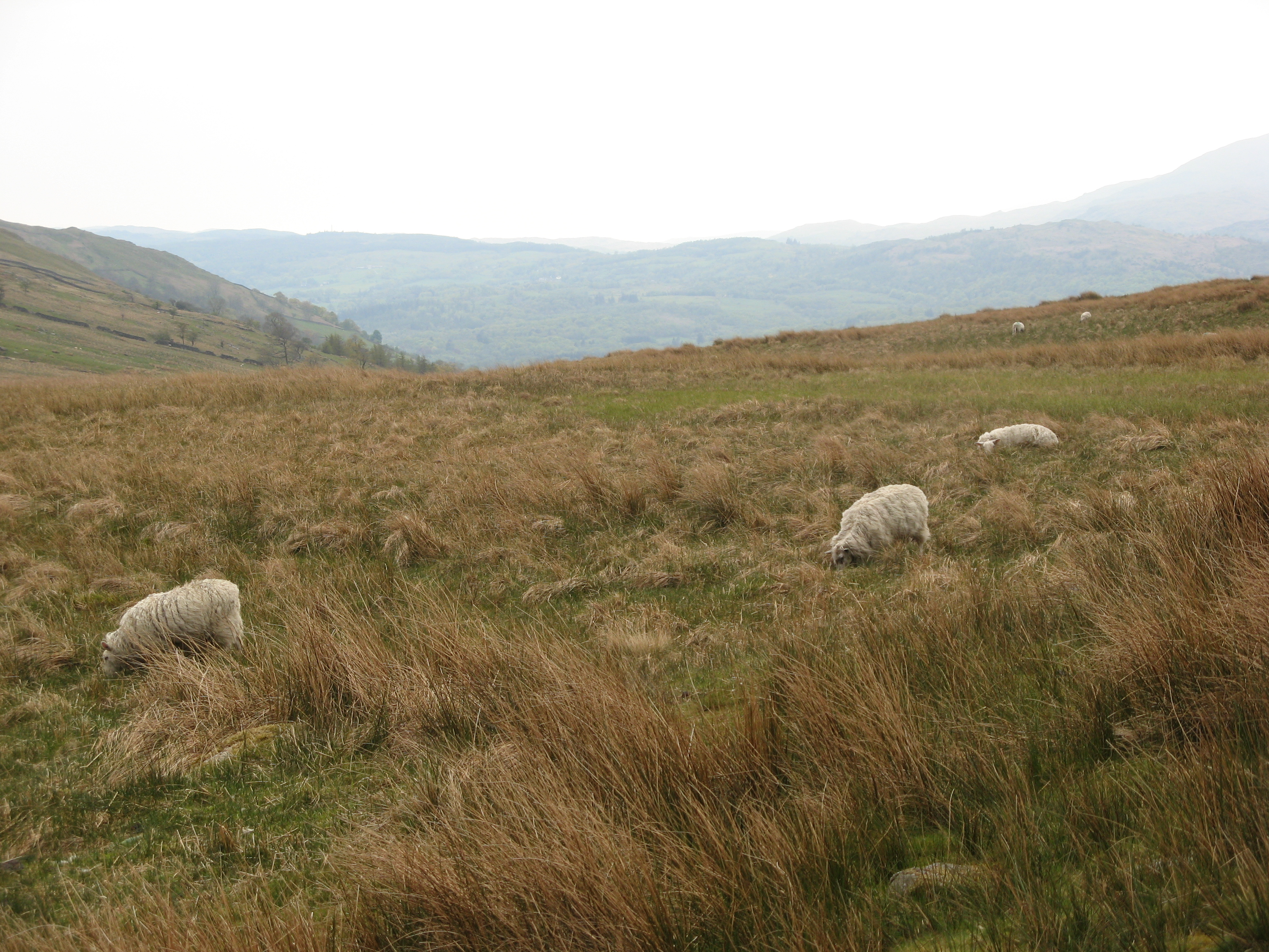 sheep at kirkstone pass