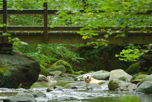A dog cools off in Stockghyll, Ambleside, Lake District.