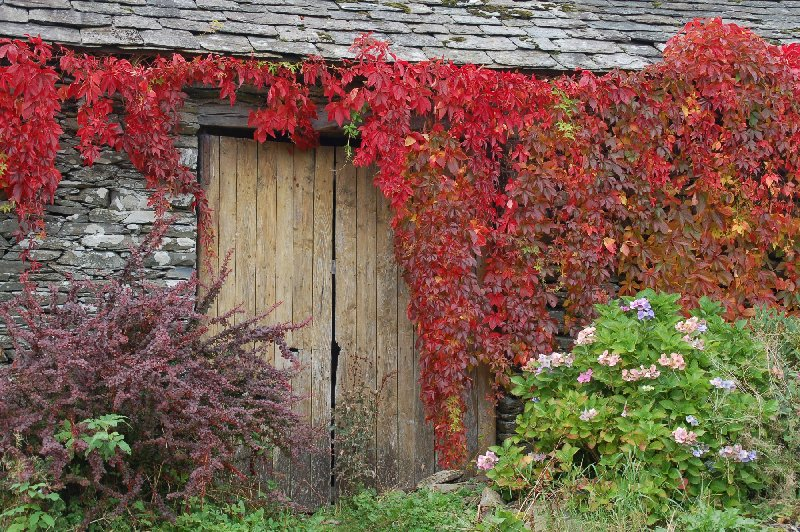 Bright virginia creeper frame a wooden door of a Sand Ground hamlet cottage. (Photo courtesy of www.lakelandcam.co.uk.)
