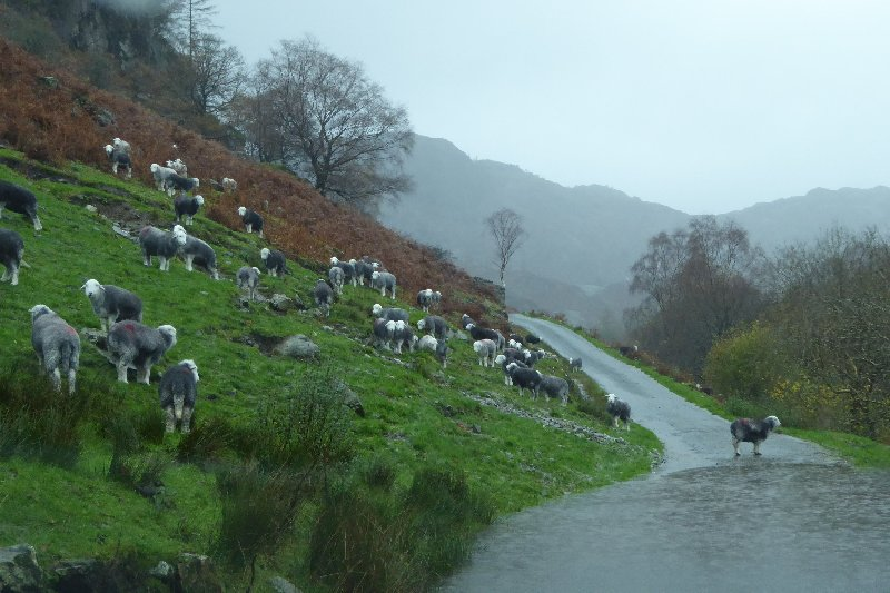 Photo by Tony Richards of 'wet Herdwicks on the road to High Tilberthwaite' courtesy of www.lakelandcam.co.uk.