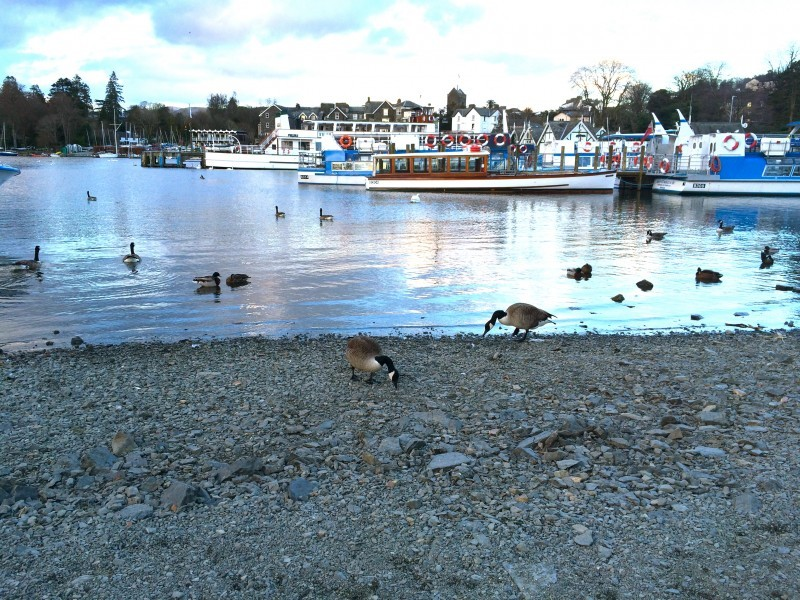 Canada geese search for tidbits on Windermere's shores.