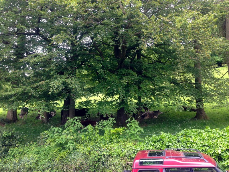 Practically in our backyard: cows rest under the shade of National Trust woodland just on the other side of our hedge.