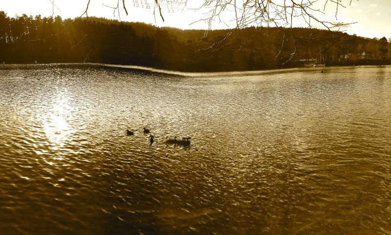 The three ducks which hopped back into the water to avoid Zack meet with three friends perched on a rock in the middle of the Lake.