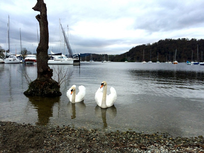 Swans on Windermere.