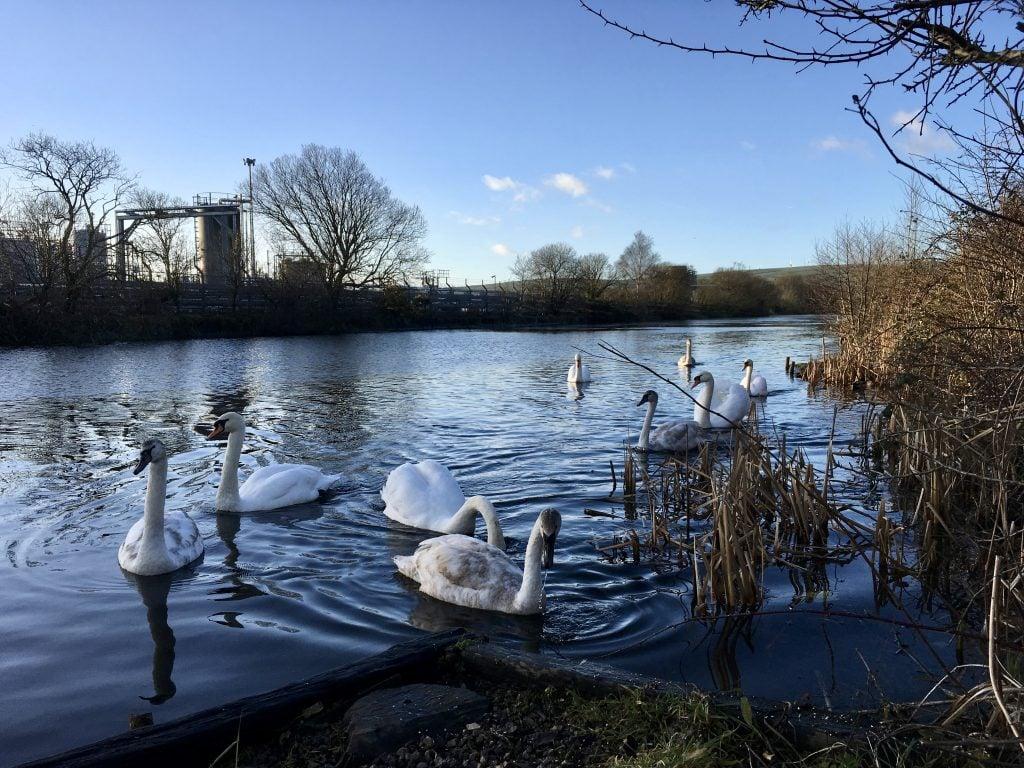 bird life, ulverston canal, cumbria