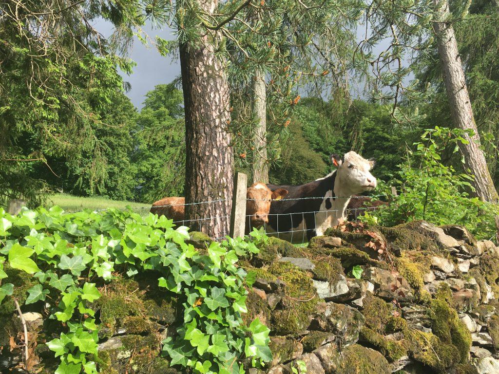 Cows in Blenheim Lodge backyard