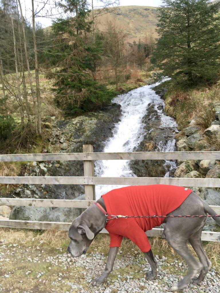 Great Dane Dog at Waterfall